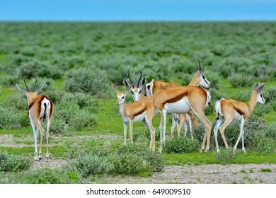 Namibia Etosha national park springbock herd C