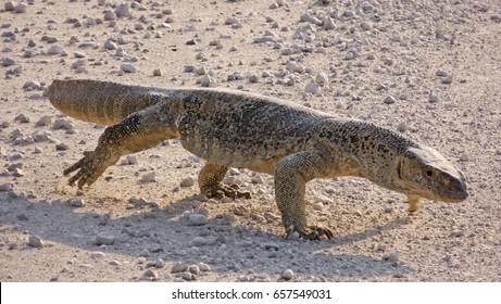 Namibia, Etosha park, monitor lizard