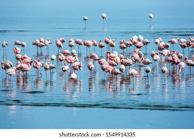 Namibia. Sunrise. White and pink flamingos are picturesquely reflected in smooth water. Flock of magnificent birds feed themselves in coastal silt. Ecological, active and photo tourism concept