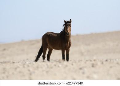 Namibian desert horse.