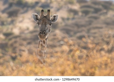 Namibian Giraffe (Giraffa giraffa angolensis) - Looking Out