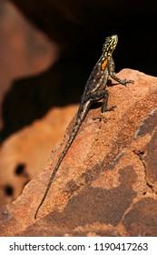 Namibian Rock Agama (Agama planiceps) in Damaraland in Namibia