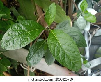 Nan Chao Wei, natural herbs, bitter, green leaves