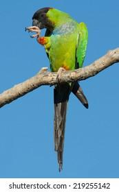 Nanday Parakeet, Aratinga nenday