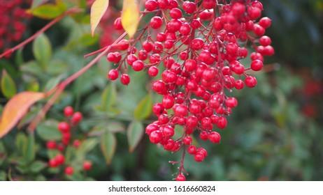 Nandina domestica, nandina, heavenly bamboo or sacred bamboo (red cherries)