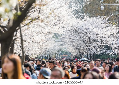 Nanjing, China - March 26, 2018 : Nanjing Jiming temple, all cherry blossoms in full bloom, is Nanjing's famous attractions in spring.