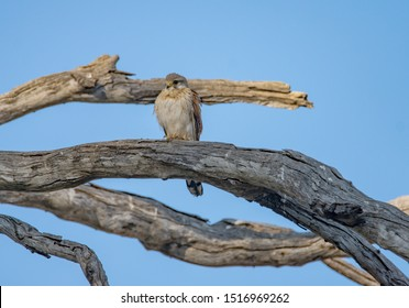 A Nankeen Kestrel perched on a tree limb against a blue sky