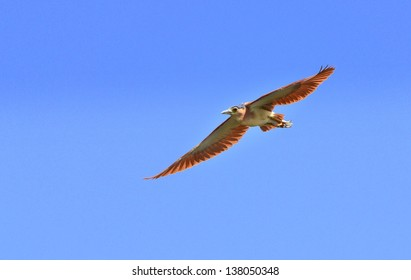 Nankeen Night Heron flying