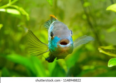 Nannacara anomala neon blue, male cichlid front view, freshwater fish, natural aquarium, closeup nature photo
