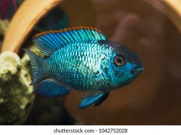Nannacara Neon fsh, background with beautiful turquoise aquarian fish.