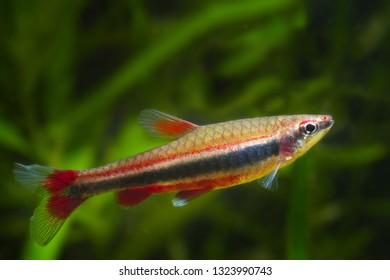 Nannostomus beckfordi red, Brazilian ornamental freshwater juvenile pencilfish side view, nature biotope aquarium, aquatic fauna