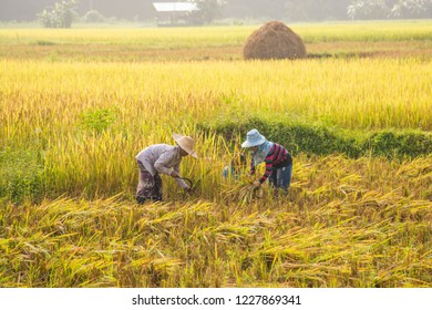 Nan,Thailand - October 10,2018 :  Unidentified Thai farmers are harvest in the rice field at Baan Sapan ,Nan,Thailand.