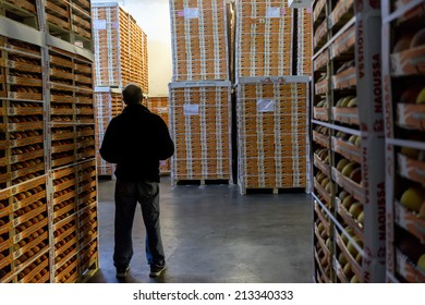 """NAOUSSA GREECE- AUGUST 20 2014: Worker Inspects Products of Agricultural Cooperative of Naoussa Greece stacked in boxes. The famous """"Naoussa Peaches"""" are the area's main product. Fruit production."""
