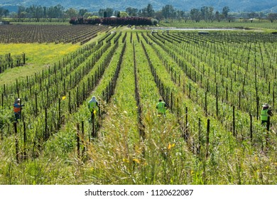 NAPA, CALIFORNIA/U.S.A. - MARCH 21, 2016: A view of a Napa Valley vineyard with unidentifiable farmworkers and grapevines growing in rows in the springtime.