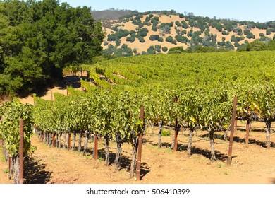 Napa Valley California Vineyard