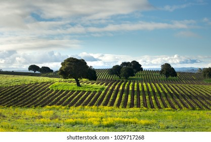 The Napa Valley vineyard rows with yellow mustard flower blooming isolated oak trees under blue skies and white clouds a gorgeous February day in the wine country.