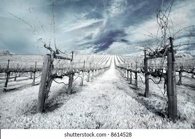 Napa Valley vineyard in the winter in infrared.