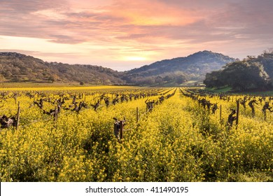 Napa Valley Vineyards Spring Sunrise, Mountains, Wild Mustard Plant