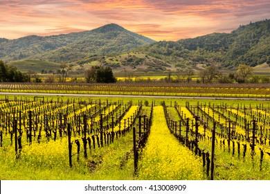 Napa Valley Vineyards, Spring, Wild Mustard, Mountains, Sunrise Sky