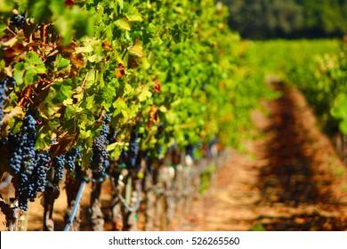 Napa Valley Wine Vineyard