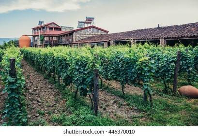 Napareuli, Georgia - July 19, 2015. Green vine grapes in vineyard located in Napareuli village