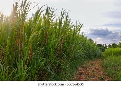 Napier Grass Plantation , Pennisetum setaceum , Sugarcane field in blue sky and white cloud in Thailand