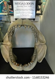 Napier, New Zealand - February 14th, 2016: A display of the jaws of the ancient megalodon at the National Aquarium of New Zealand in Napier, New Zealand.