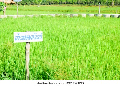 Na-Pokea Phatthalung, Thailand - April 22, 2018: The name of the rice  Homunculus ( KHao Hom CHan)  plant in the field. Phatthalung, Thailand