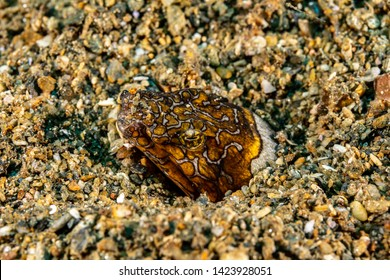 Napoleon snake eel, Ophichthus bonaparti, also known as the Napoleon eel, the Purplebanded snake eel, or the Saddled snake-eel is an eel in the family Ophichthidae