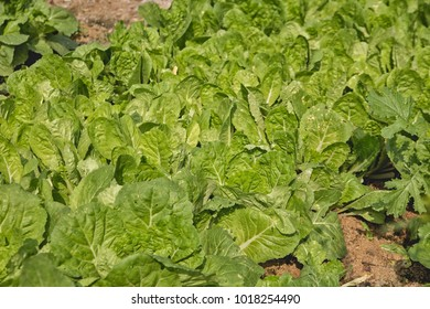 Nappa cabbage green leaves