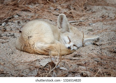 a napping desert fox