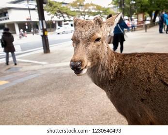 Nara Deer Portrait 'What's up?'