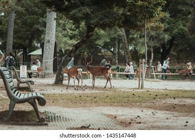Nara, Japan, 18 June 2019: Visitors feed wild deer in Nara, Japan. Nara is a major tourism destination in Japan