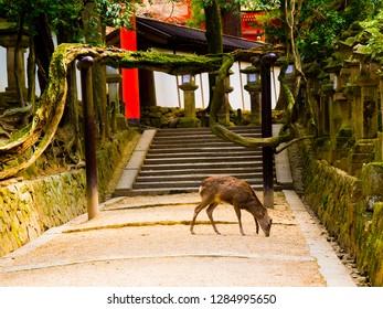 Nara, Japan - April 15 2016: A deer roaming in Nara park before a shrine in Japan