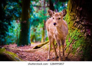 Nara, Japan - April 15 2016: A deer roaming in Nara park in Japan