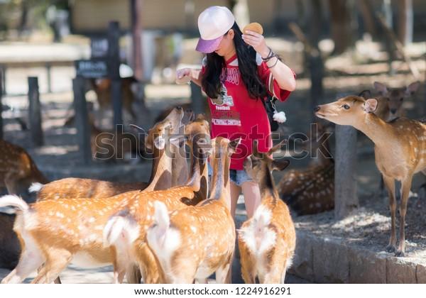 Nara / Japan - August 17th 2018: Young woman is feeding deer crackers (Shika-senbei) to a crowd of playful deer in Nara park.