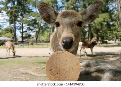 Nara, Japan - June 3, 2019 :  Friendly Deer Looking at Deer Biscuit (Deer Sembe) at Nara Park in Nara