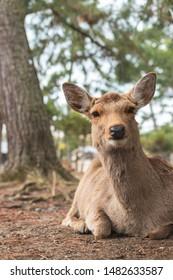 Nara, Japan - Marc 22, 2019: Friendly and cute Sika deer in Nara Park, Japan