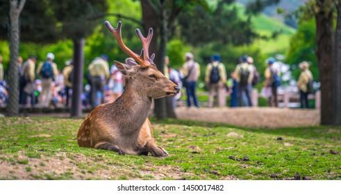 Nara - May 31, 2019: Deer in Nara deer park, Nara, Japan