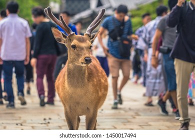 Nara - May 31, 2019: Deer with tourists in Nara deer park, Nara, Japan