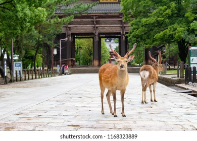Nara Park, Nara prefecture place name, Nara / Japan - June 7, 2018: It is a wild deer walking in Nara Park early in the morning.