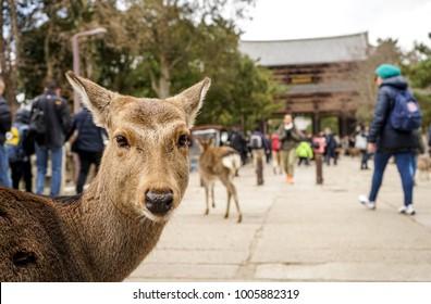 Nara, Nara Prefecture, Japan: Cute Deer in Nara Park