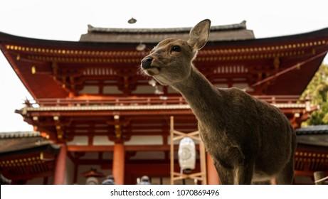 Nara, Nara Prefecture, Japan: Deer in Front of the Temple