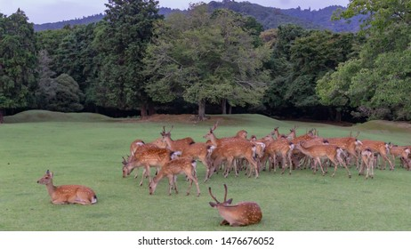 NARA, NARA PREFECTURE, JAPAN - JULY 17, 2019: Sika deer gathered in the vast grass field of Nara Koen (Nara Park), a large park located in central area of the city.