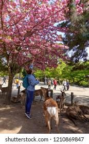 NARA,JAPAN - APRIL,13 : Visitors visit Nara park on April,13,2018 in Nara,Japan. The park is a large park in central Nara. Established in 1880 and It is home to hundreds of freely roaming deer.