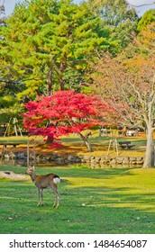 Nara-koen Park in Nara, Japan. A deer of Nara-koen Park is a protected animal. Colored leaves of Nara-koen Park.