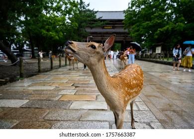 奈良の鹿は奈良市のシンボルで、公園内を自由に歩くことができます。