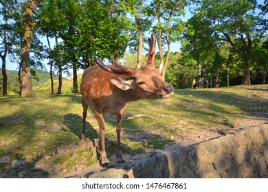 Nara's deer are the symbols of the Nara Park, and are famous across Japan. Deer bow to visitors to ask to be fed.Nara, Nara Prefecture, Japan