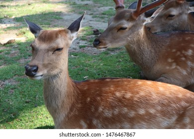 Nara's deer are the symbols of the Nara Park, and are famous across Japan. Nara, Nara Prefecture, Japan