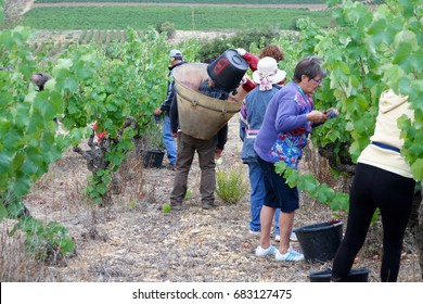 NARBONNE, FRANCE - SEPTEMBER 17th: A traditional grape picking harvest in a vineyard near the city of Narbonne, France on the 17th September, 2016.